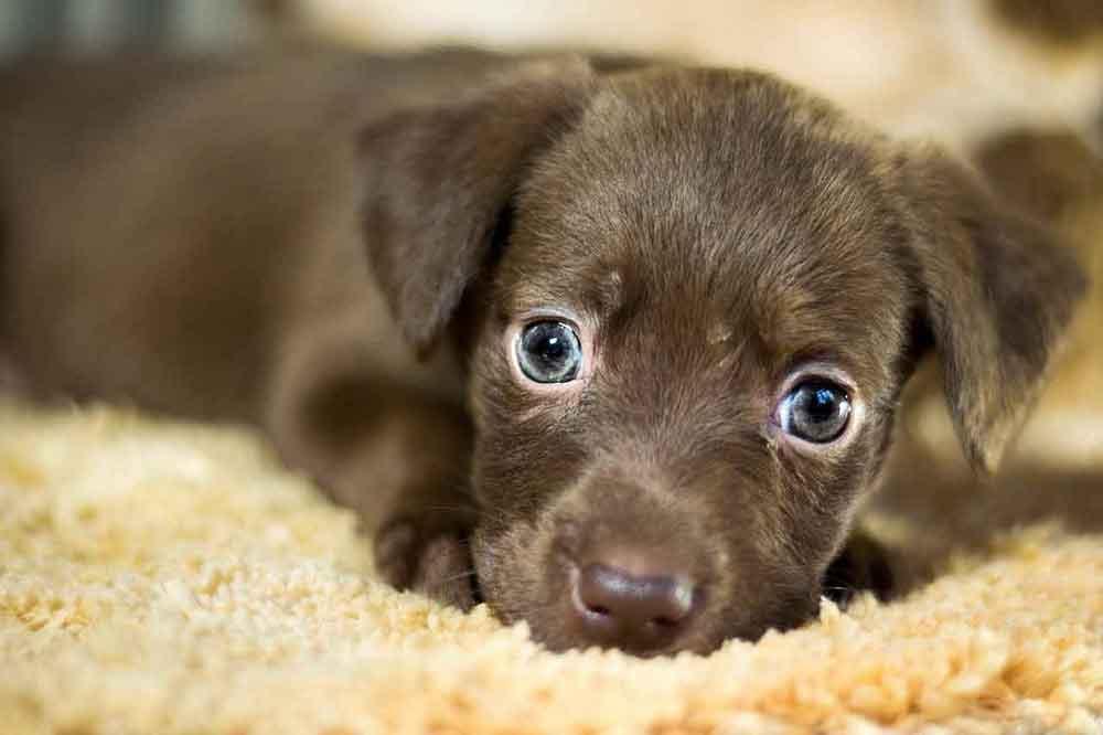 Buying Adopting Dog