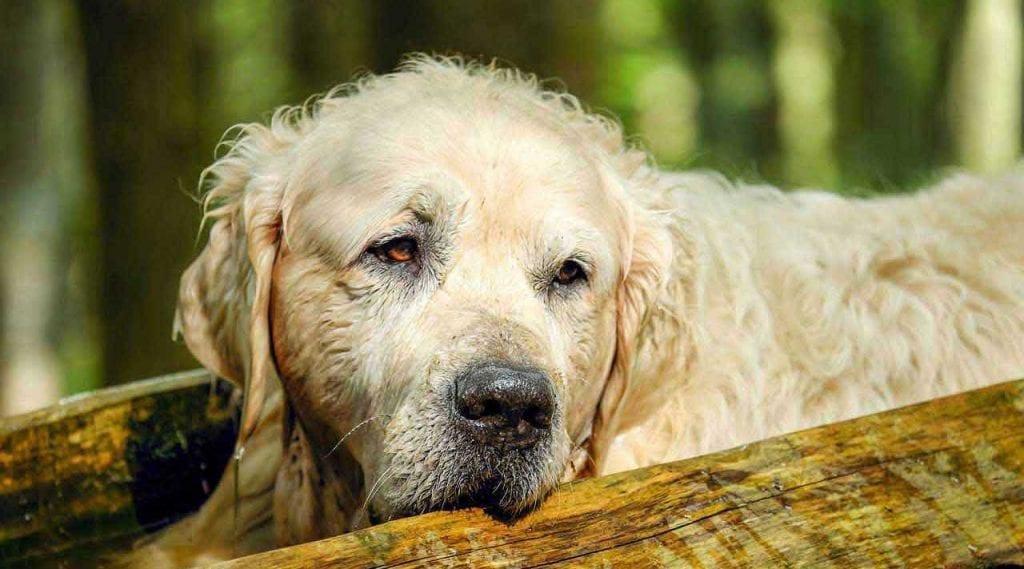Care Senior Dogs