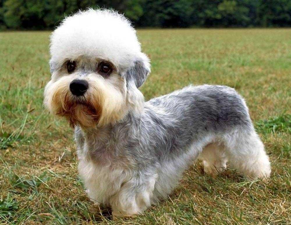 Dandy Dinmont Terrier