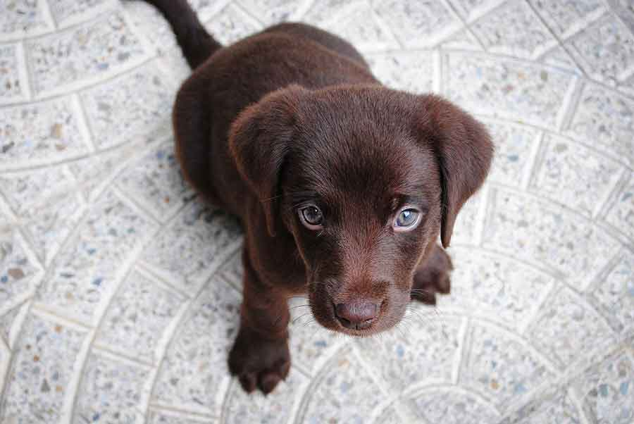 Selecting a Labrador Puppy