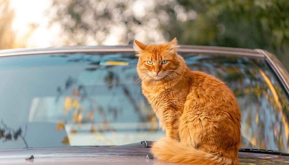 cat travels 800 km carpooling return home