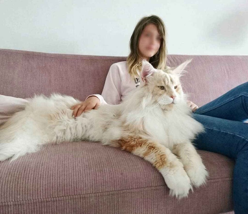Lotus The Huge Fluffy Maine Coon
