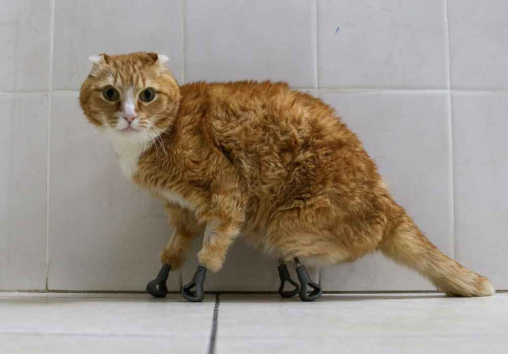 Tom Ryzhik Cat fitted with four new legs Titanium bionic limb prostheses
