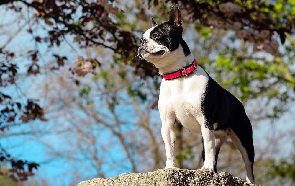 Boston Terrier Tips