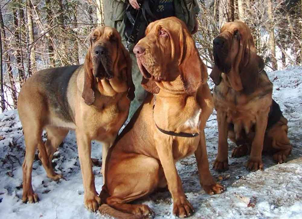 Bloodhound - St. Hubert dog