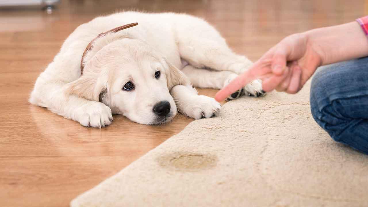 dog-Urine-Smell