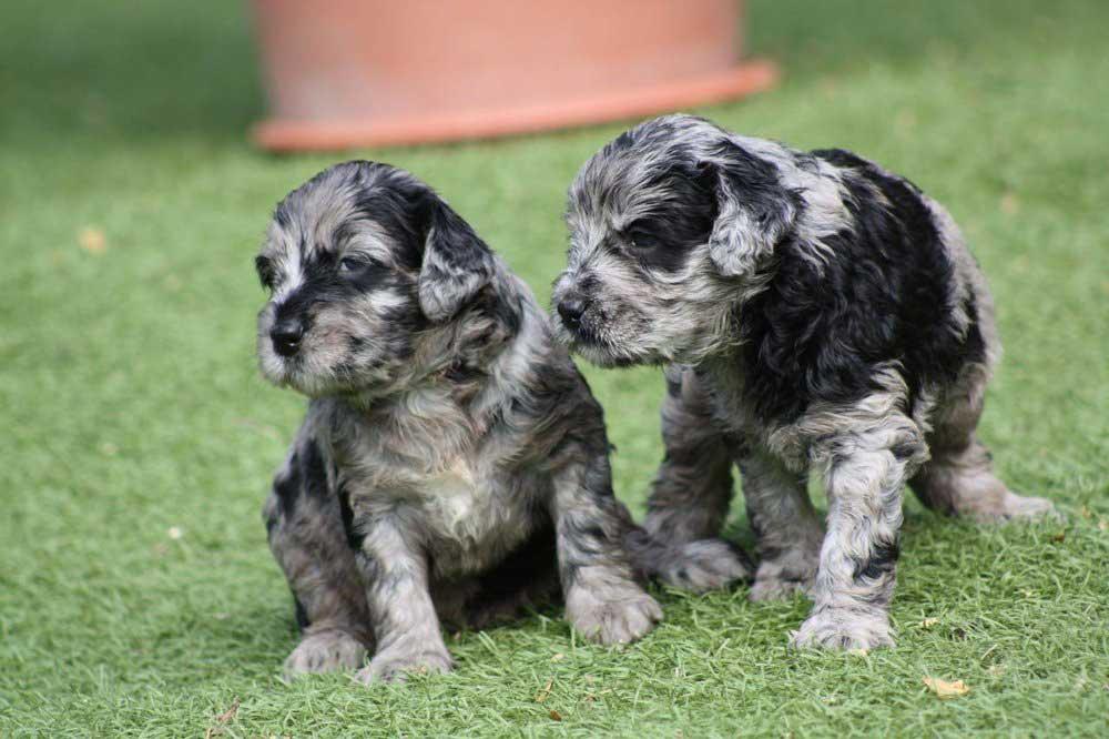 Bergamasco Shepherd puppies