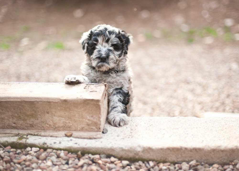 Bergamasco Shepherd puppy