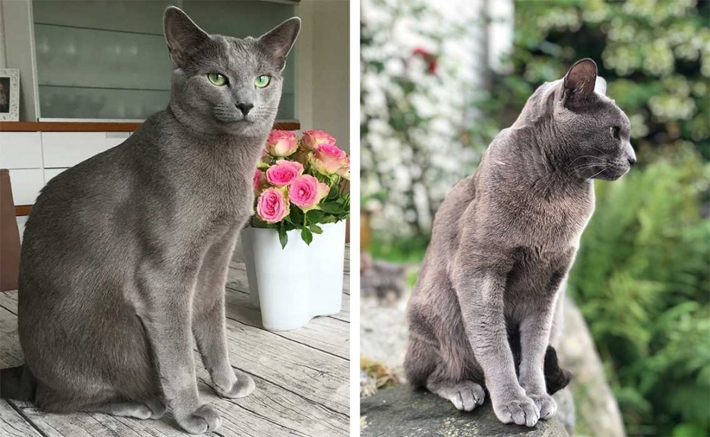 Differences between Korat and the Russian blue cats