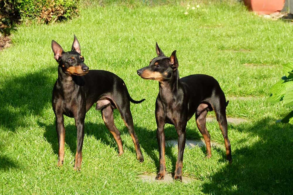 English Toy Terrier Black & Tan