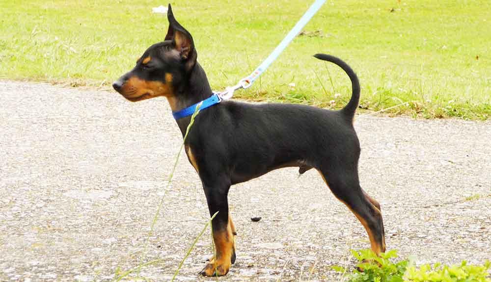 English Toy Terrier Black & Tan puppy
