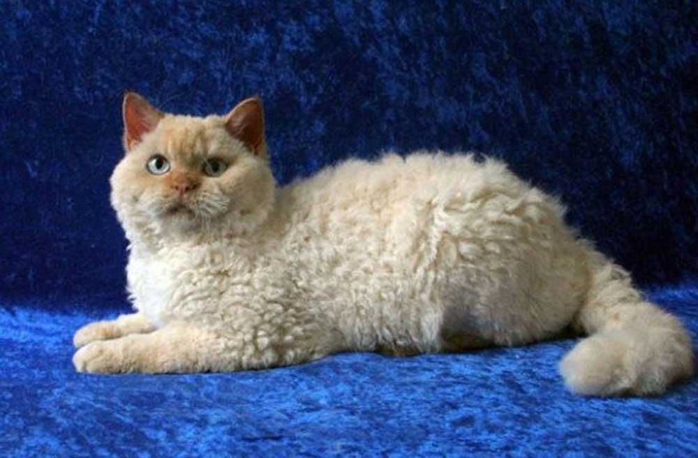 LaPerm cat