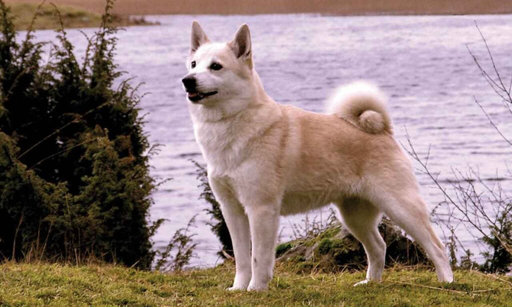 Norwegian Buhund Dog Breed Information Pets Feed