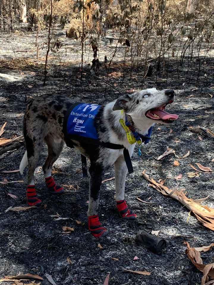 Bear, le chien héros qui sauve des koalas des feux de forêt en Australie