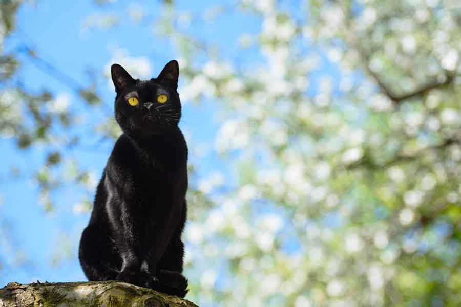 Bombay Cat