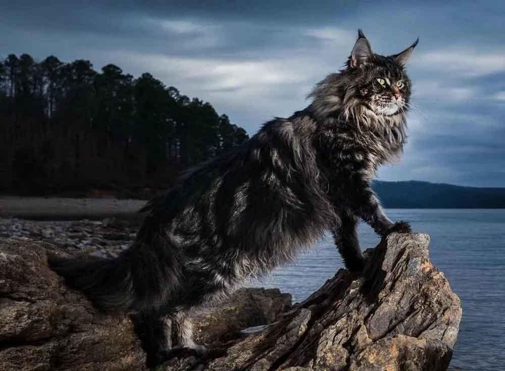 best cat breeds kids  Maine Coon