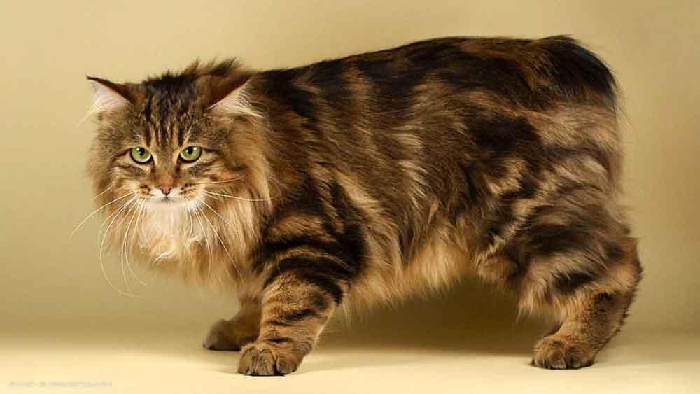 best cat breeds kids  Manx cat