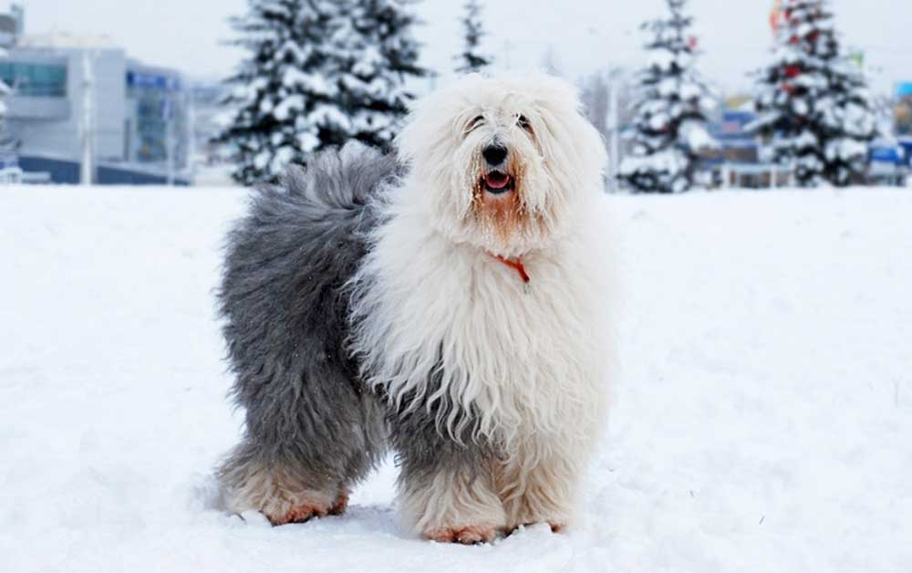 Old English Sheepdog Bobtail
