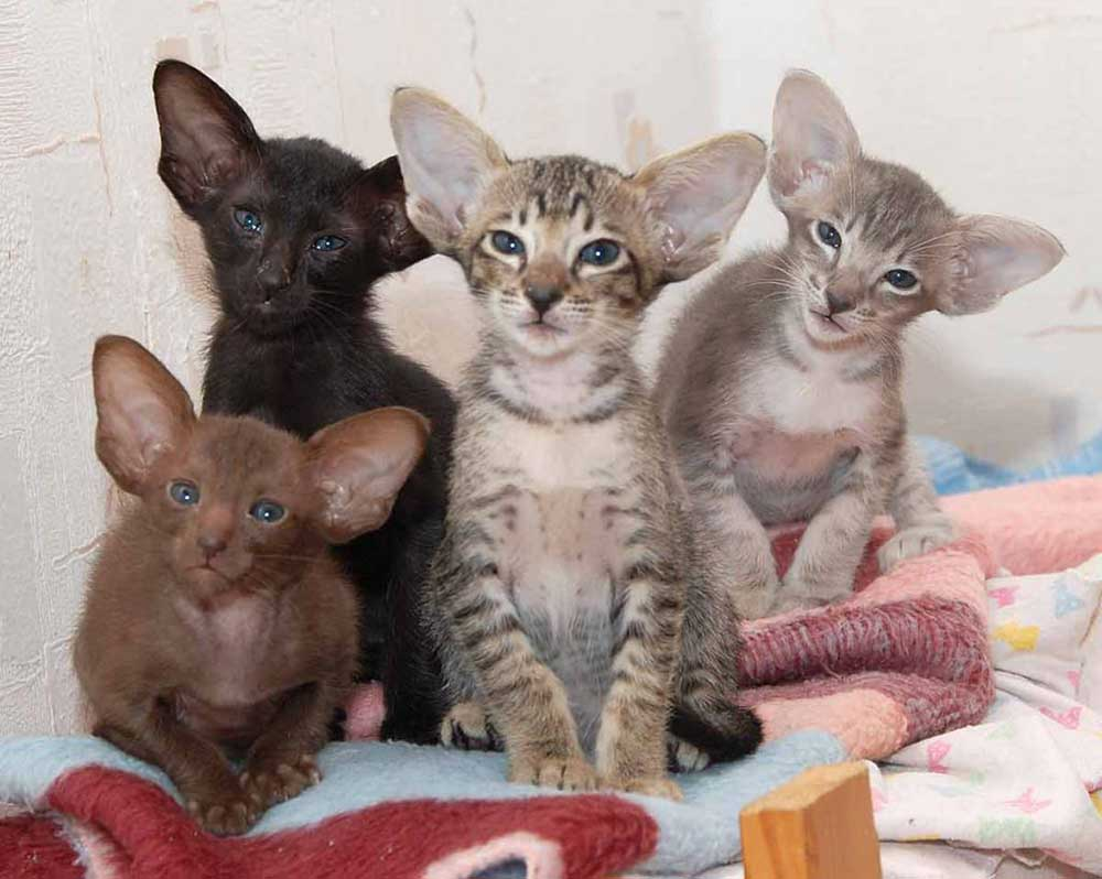Oriental longhair kittens