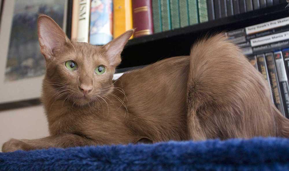 Oriental longhair cat