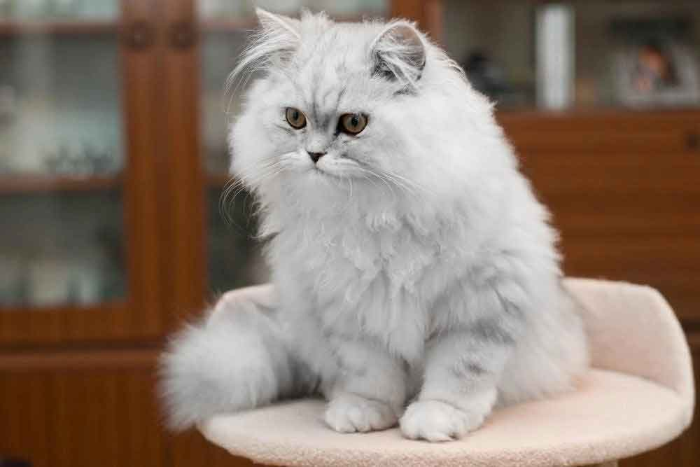 Persianbest cat breeds kids
