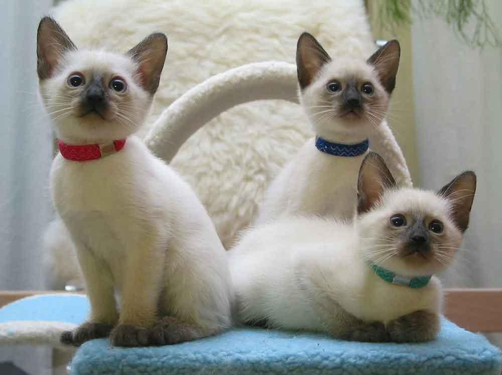 best cat breeds kids  Siamese