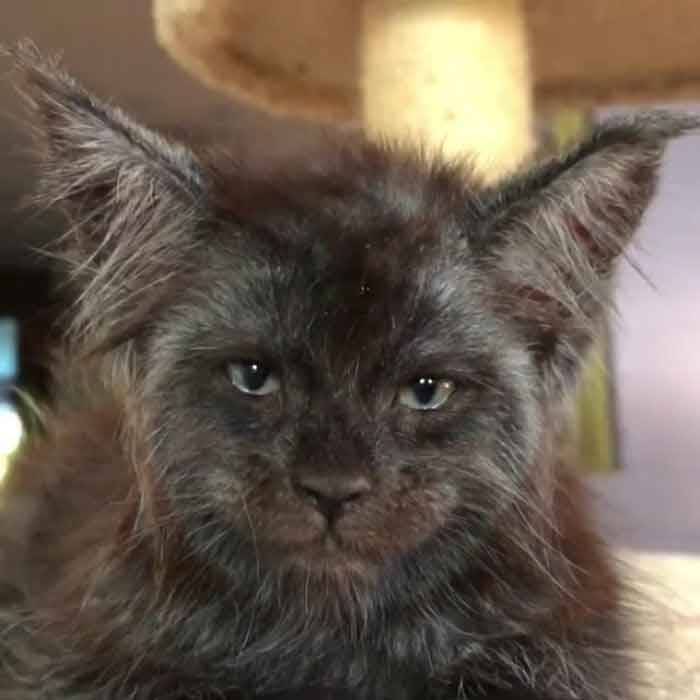 Valkyrie Maine Coon cat Human Like Face