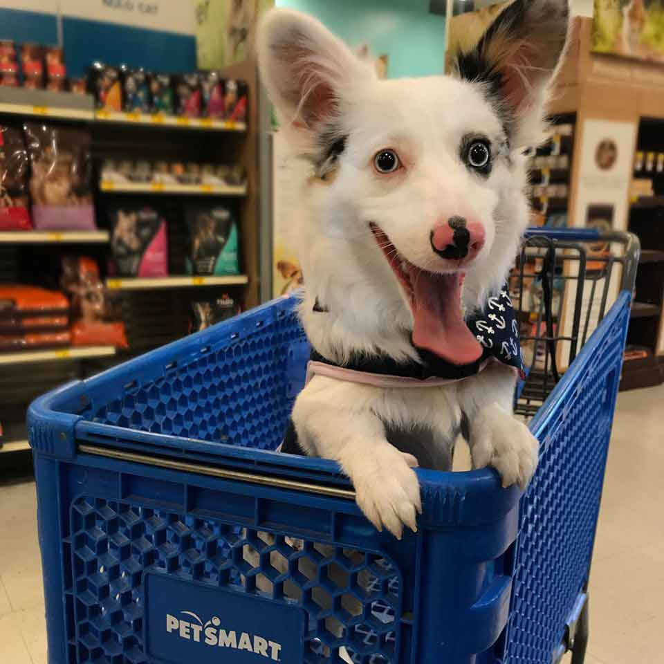 Zira corgi dog is excited for shopping