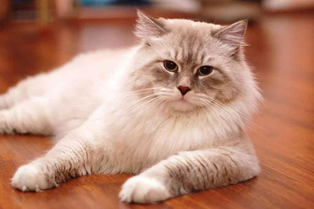 Ragdollbest cat breeds kids