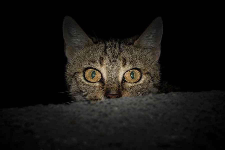 amazing facts about cat