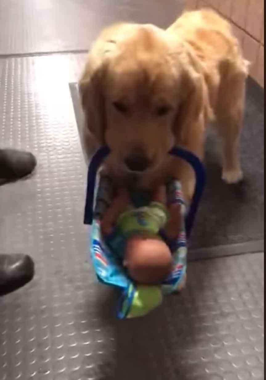 Ben Franklin golden retriever police dog caught stealing donations toys