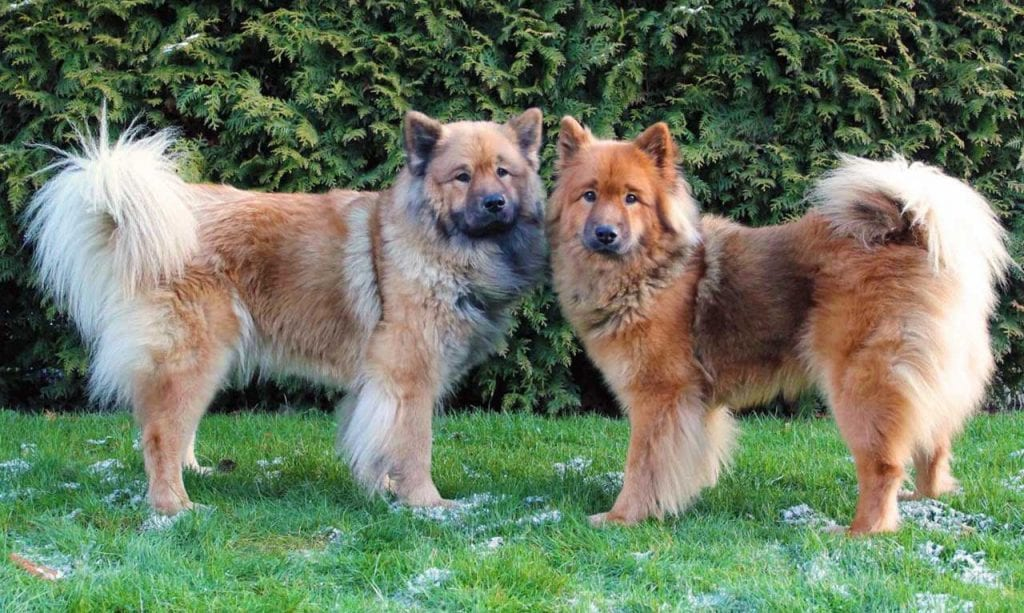 Eurasier dog