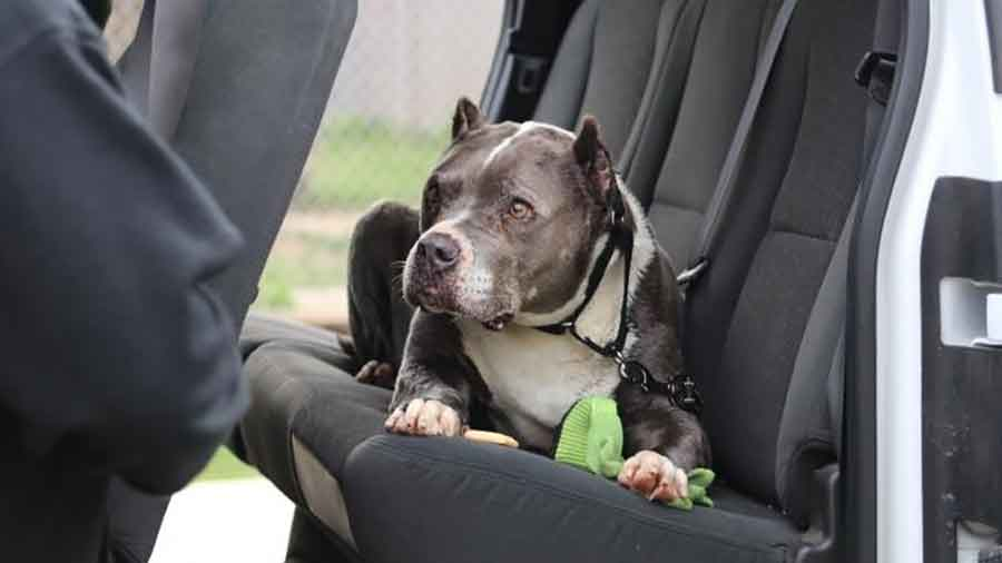 Seamus Pit bull rescue Fresno Bully Rescue christmas 5 years 9 years old