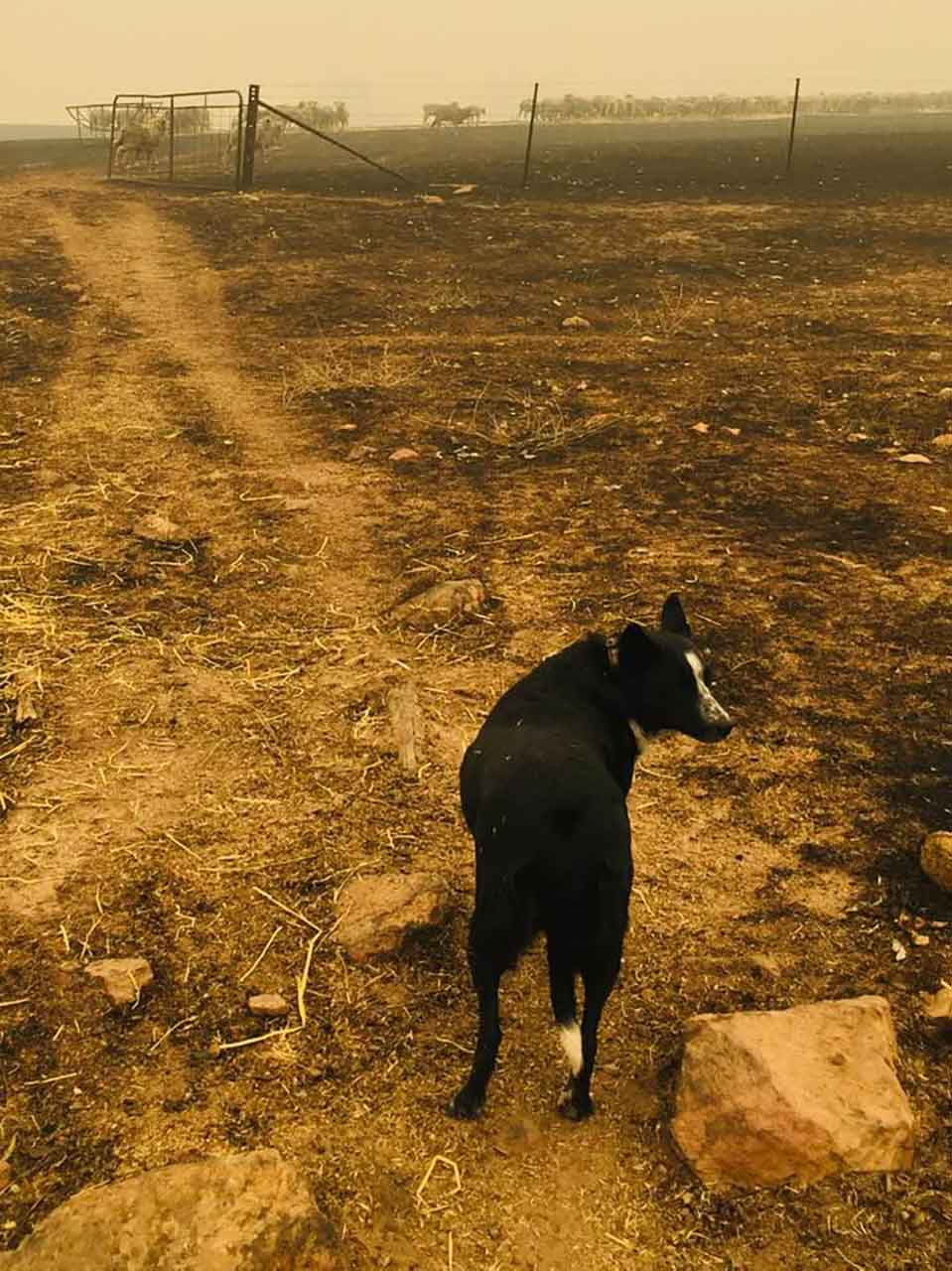 Fires australia brave heroic border collie dog saves herd flock sheep