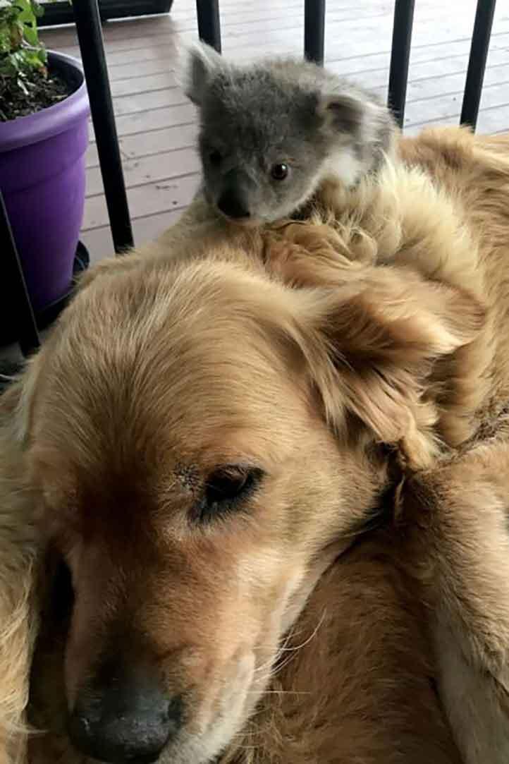 asha golden retriever koala saves australia