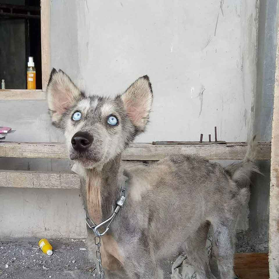 Husky-Malnourished-Like-Skeleton-Rico-Soegiarto-transformation