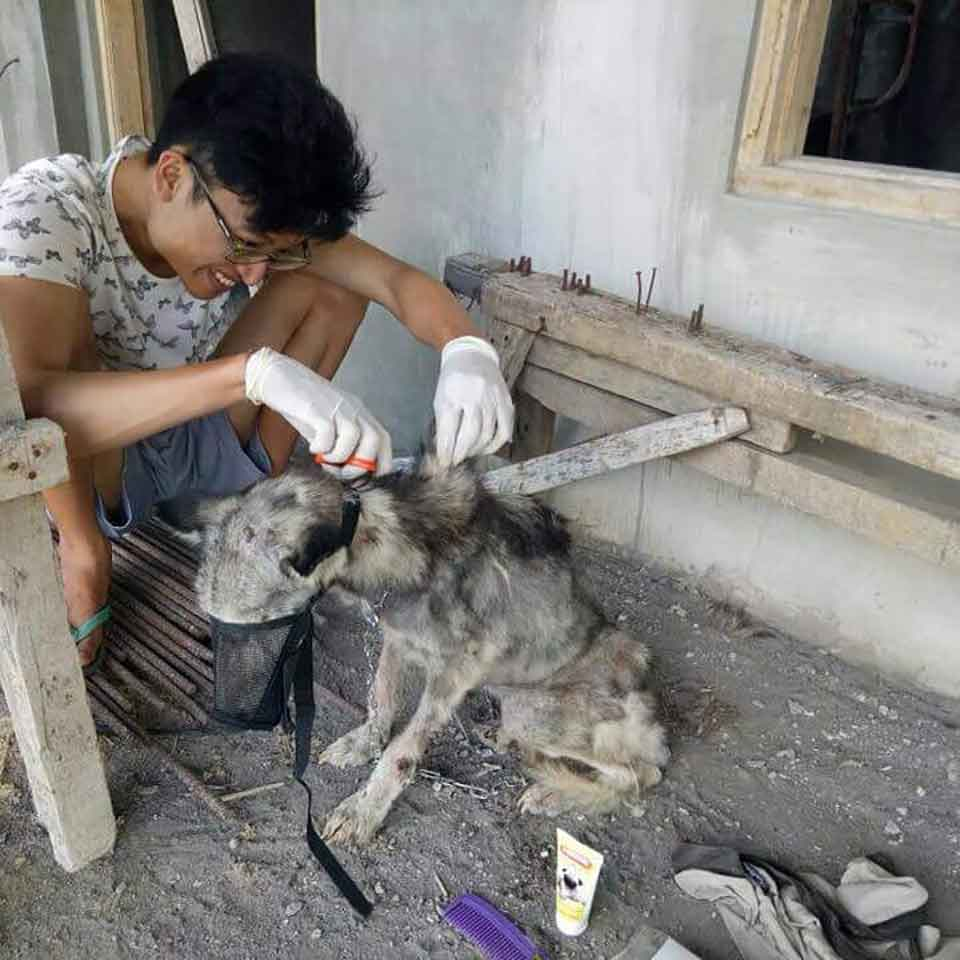 Husky Dog Hope Malnourished Like Skeleton Rico Soegiarto transformation