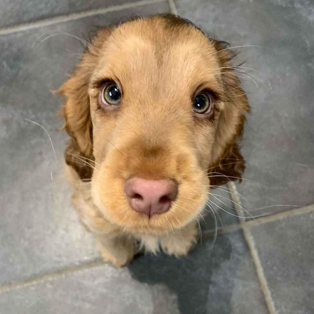 cocker spaniel puppy disney eyes winnie_thecocker