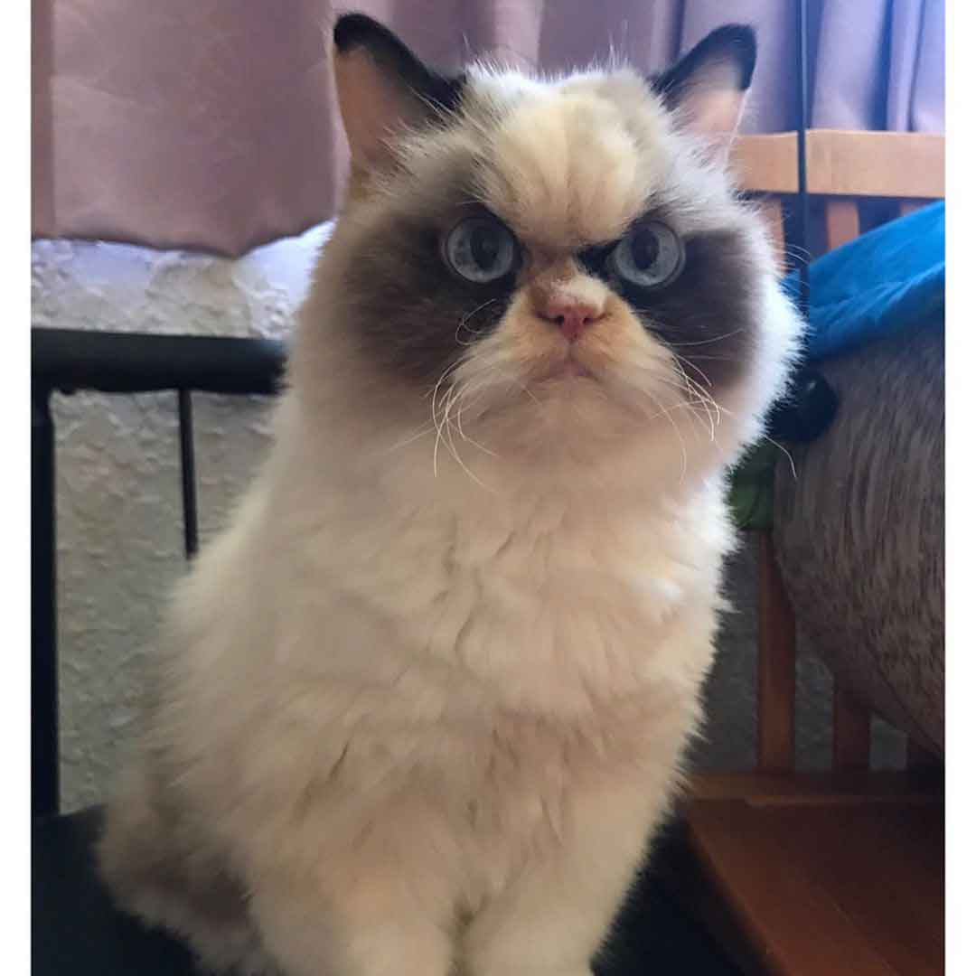 meow meow Grumpy Cat angry Clare