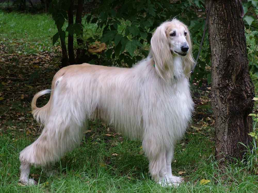 identify breed dog Long-haired or fringed Sighthounds