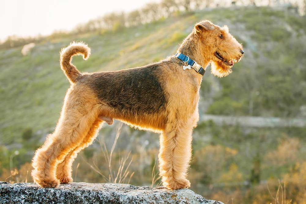 identify breed dog Large and medium sized Terriers