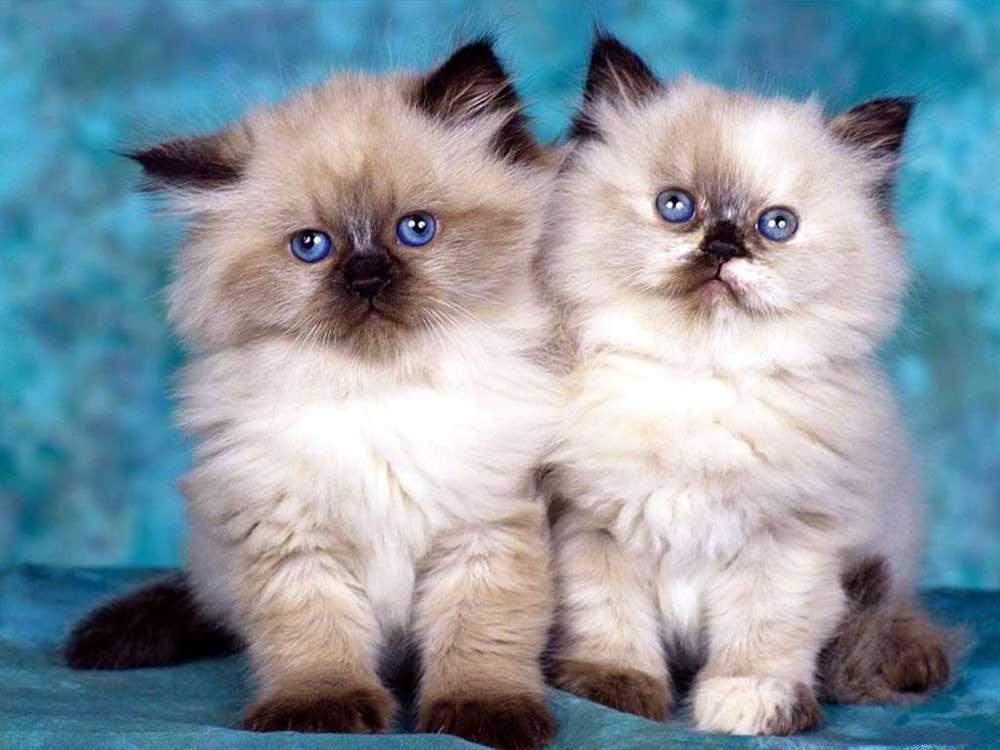 Birman kittens