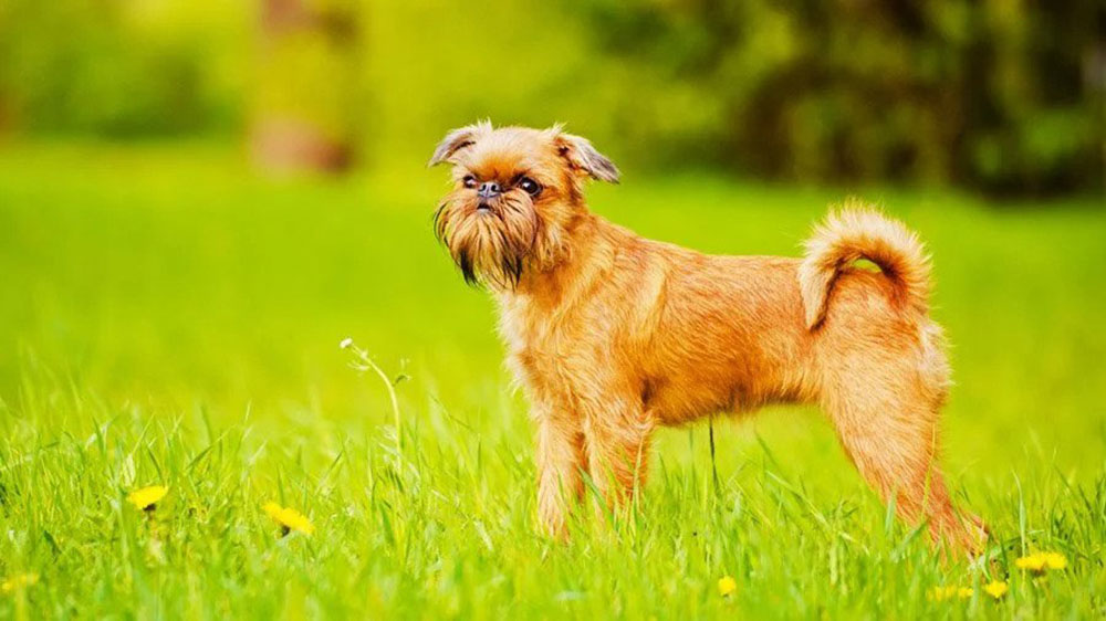 identify breed dog Small Belgian Dogs