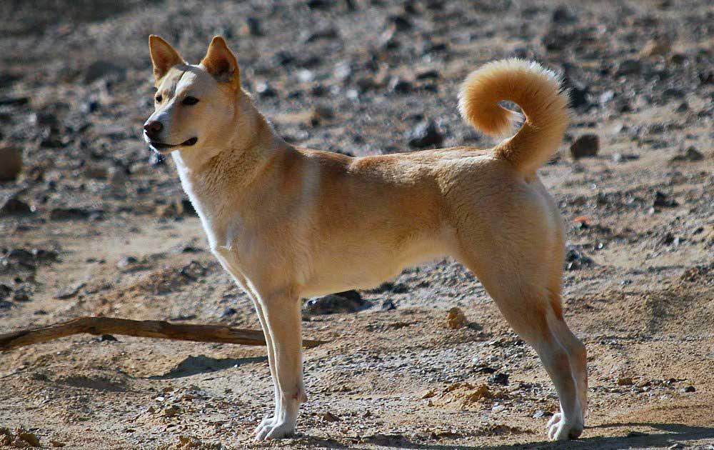 identify breed dog Primitive Types
