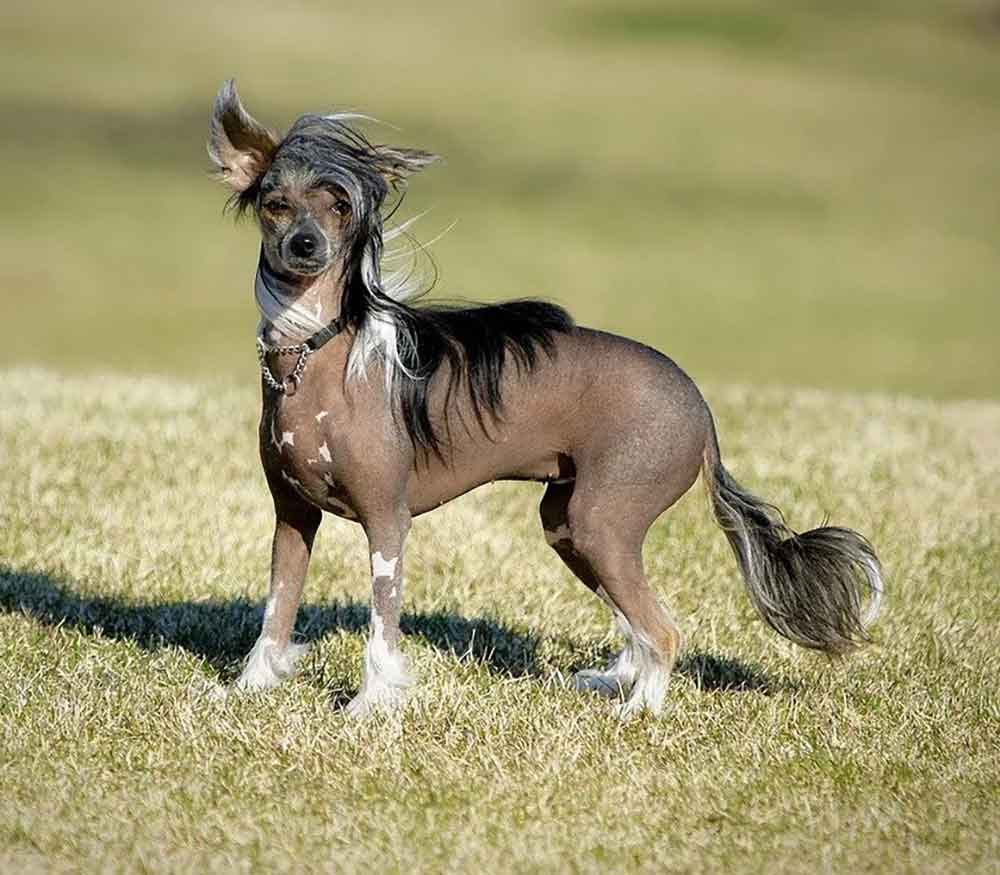 identify breed dog Hairless Dogs