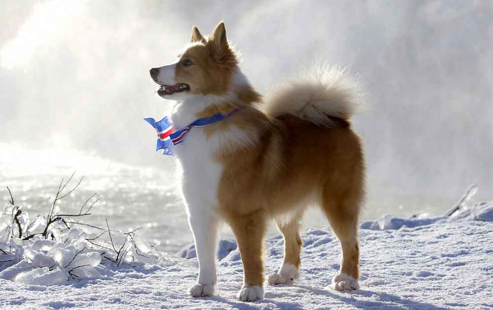 identify breed dog Nordic Watchdogs and Herding Dogs