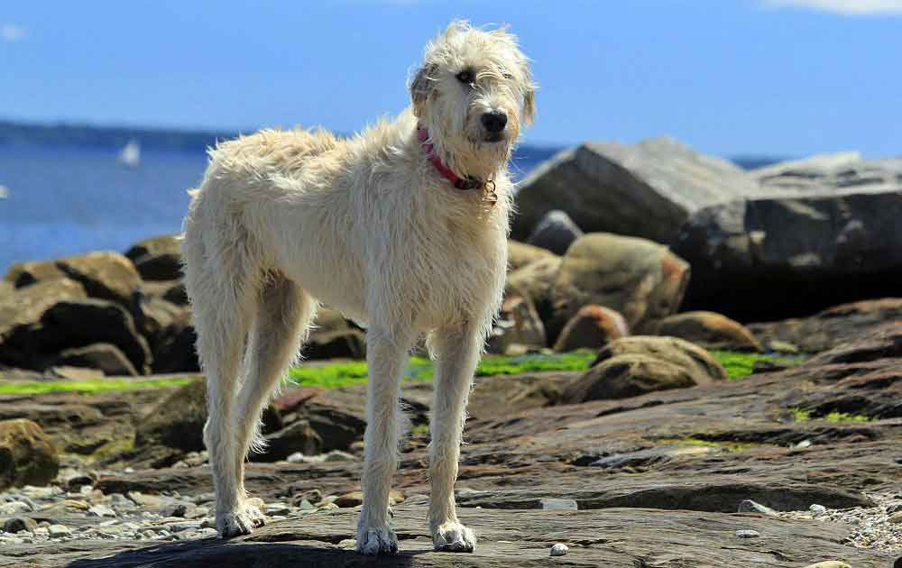 identify breed dog Rough-haired Sighthounds