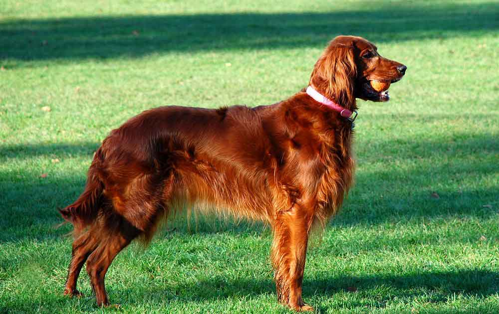 identify breed dog British and Irish pointers and setters