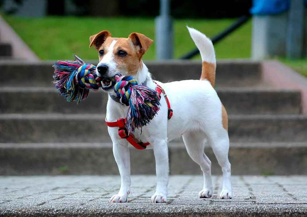 identify breed dog Small sized Terriers