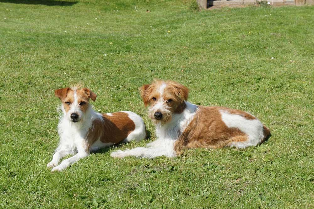 identify breed dog Kromfohrländer